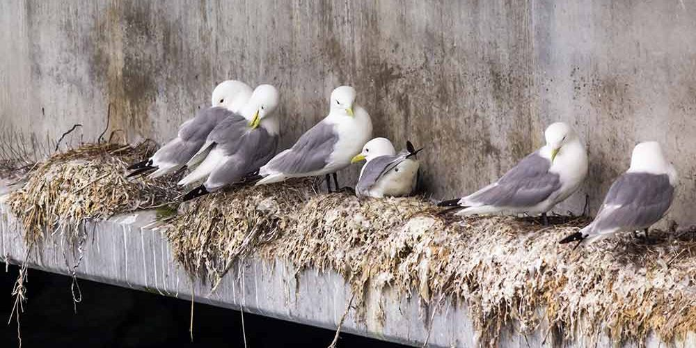 Nesting Seagulls on a concrete structure. Seagulls are protected under the Migratory Bird Treaty Act.